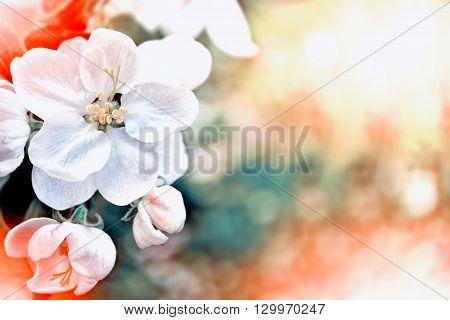 spring landscape. Flowering apple tree. Spring flowering garden.