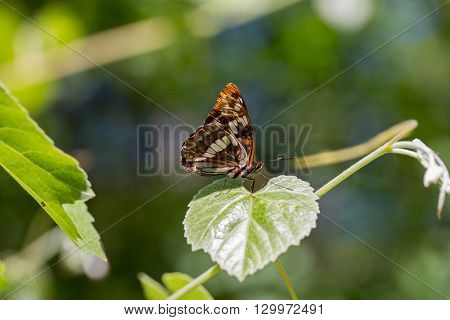 Lorquin's admiral - Limenitis lorquini, closed wings, perched on a leaf, closed wings