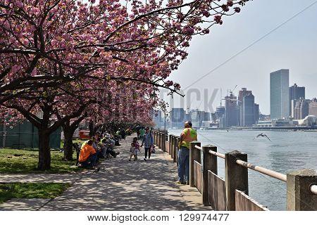 NEW YORK CITY - APRIL 22, 2016: Cherry Blossoms along sidewalk on Roosevelt Island