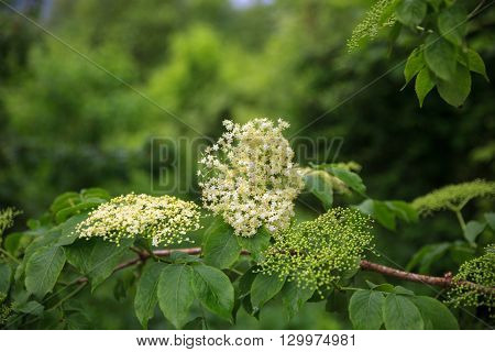 Close up of Elder flower called also elderberry or elderflower
