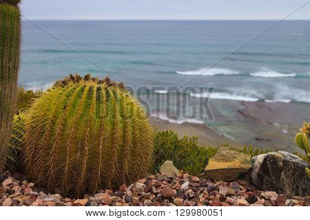 Mother in laws cactus, Mexican Golden Barrel Cactus, Echinocactus grusonii, flowering in spring in Mexico