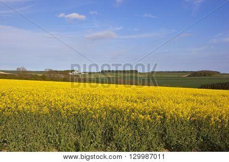 English Oilseed Rape Crop
