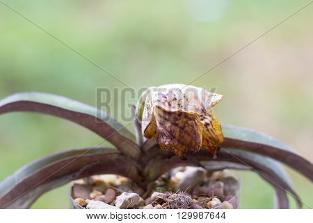 Withered Lady Slipper Orchid
