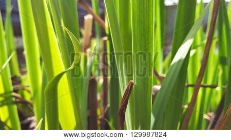 Withered and fresh green grass in spring