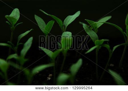 Group of green sprouts growing out from soil. Dark green background.