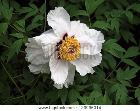 White tree peony flowers on natural background