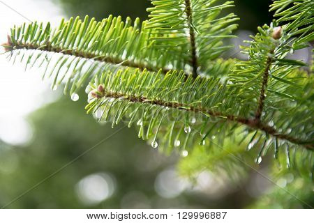 Japanese pine tree in rain with water drops