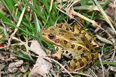 Northern Leopard Frog (Rana pipiens) in northern Illinois. poster