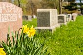 Tombstones in Cemetary with yellow jonquils in springtime poster