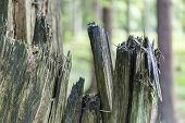 Detail shot of a splintered tree in the Ardennes Forest Belgium poster
