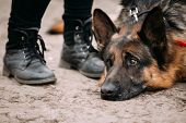 Close Up Sad Brown German Shepherd Dog Lying On Ground Near Woman Feet In Shoes. Alsatian Wolf Dog. poster