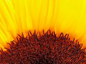 half of a sunflower-detail poster