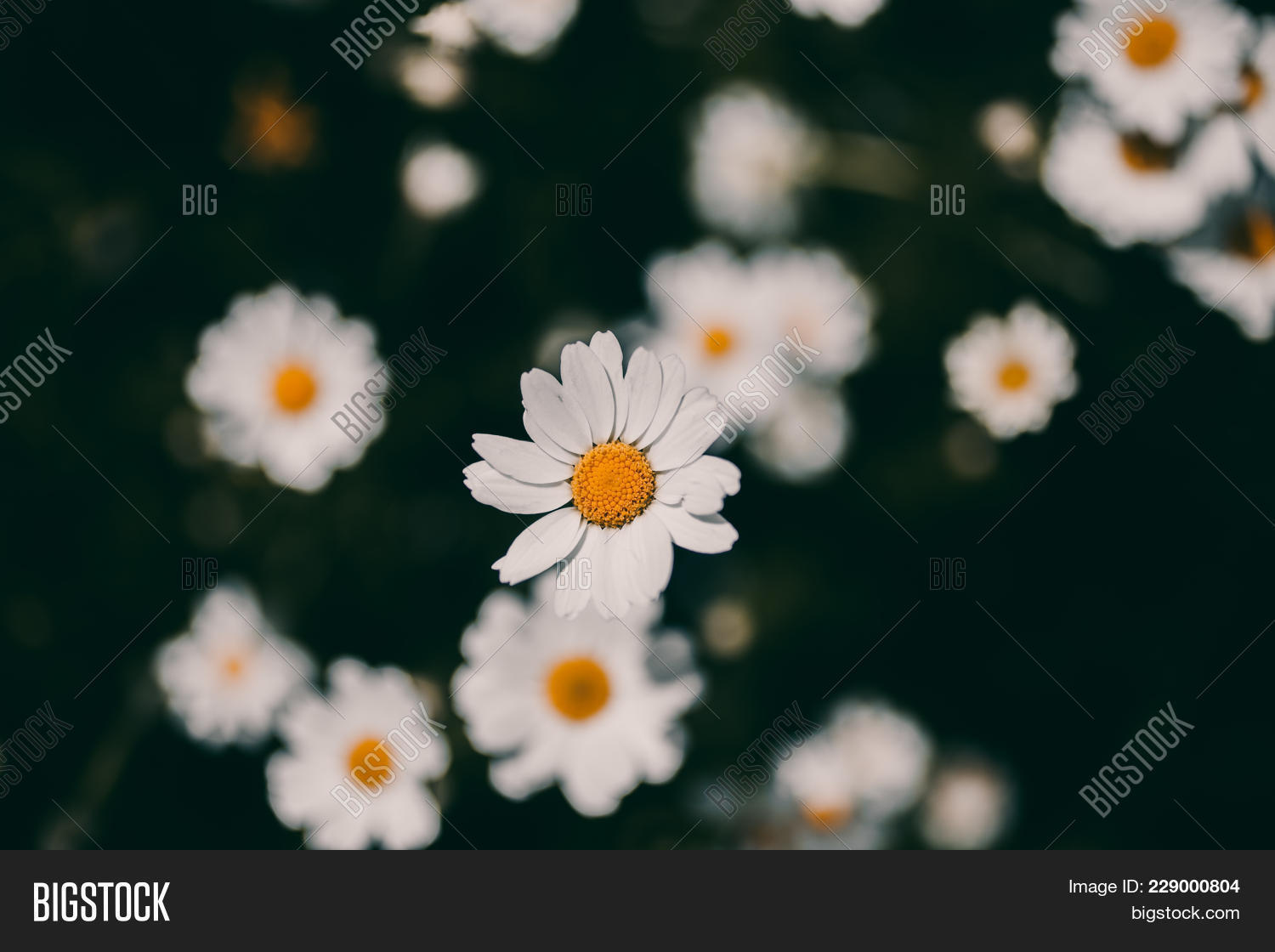Daisies vintage image photo free trial bigstock closeup of daisy flower in vintage style somber daisy flowers izmirmasajfo