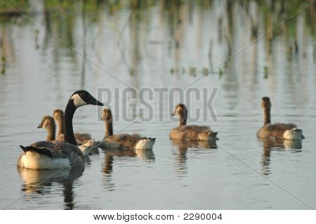 A family of Canadian geese swim and forage on the quiet waters within the wetland refuge. poster