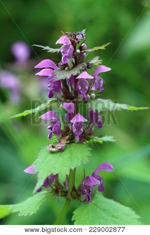 Detail Of The Blooming Blind Nettle - Medicinal Herb
