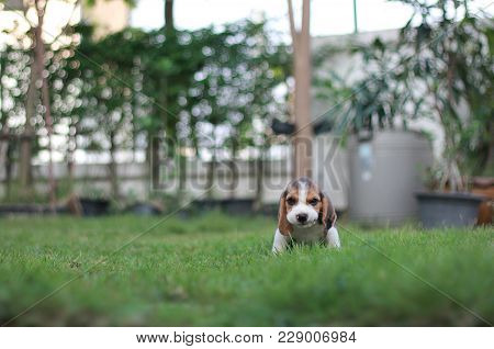 Adorable Tricolor Puppy Beagle Is Sitting In The Garden Which Has Beautiful Green Grass Under Sunris