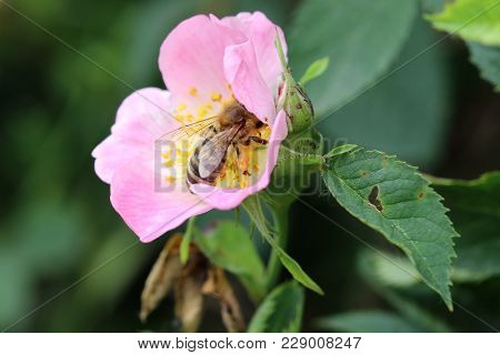 Bee Pollinating Bloom Of Wild Rose - Detail