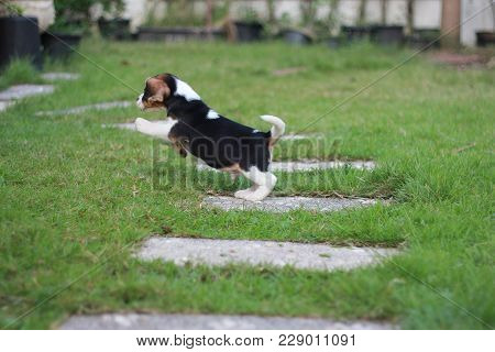An Adorable Tricolor Beagle Is Jumping And Playing In The Garden Which Has Beautiful Green Grass Und
