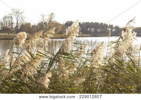 Reed, River Vegetation, Wildlife And Protection Of Ecology