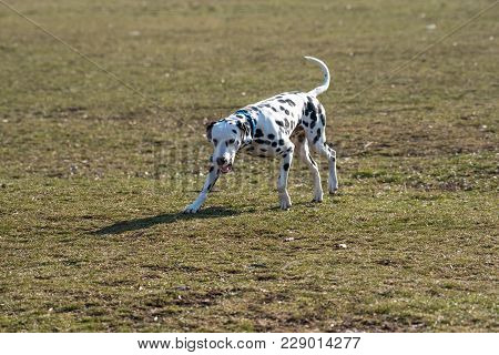 Adorable Black Dalmatian Dog Outdoors In Park