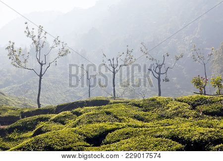 Tea Plantations In Munnar, Kerala, South India. It Is Situated At Around 1,600 Meters Above Sea Leve