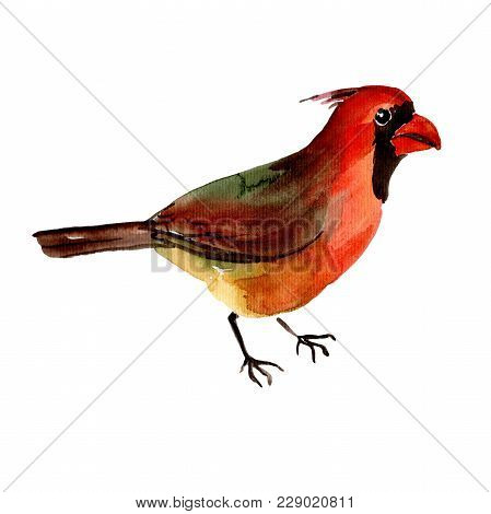 Sky Bird Red Cardinal In A Wildlife By Watercolor Style Isolated. Wild Freedom, Bird With A Flying W