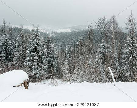 Early Morning Twilight Winter Mountain Landscape With Frosting Fir Trees And Ski Sport Bukovel Resor