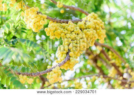 Ripe Star Gooseberry Fruit On Tree, Thai Fruit