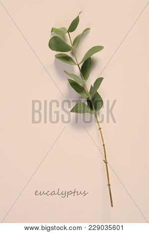 Asmanian Blue Gum, Blue Gum Eucalyptus Eucalyptus Globulus, Twig With Leaves, Studio Picture. Card.