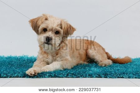 Small Brown Mixed Dog Is Lying On The Carpet In The Studio