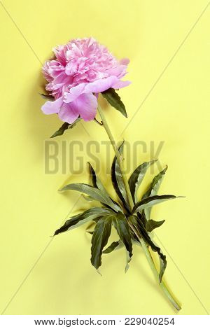Cerise Pink Peony Flowers On The Yellow Paper Background