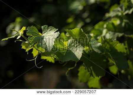 Vine With Green Leaves On A Green Background, Close-up