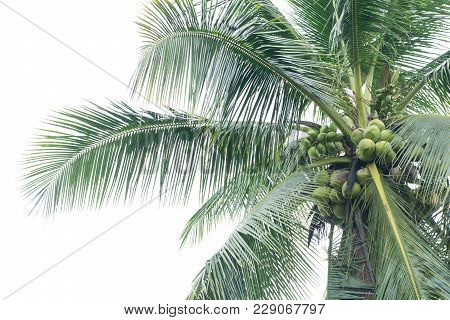 Close Up Of A Coconut Tree Isolated On White