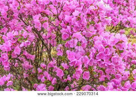 Bright Floral Background With Purple Flowers Ledebur Rhododendron With Drops Of Water After Rain