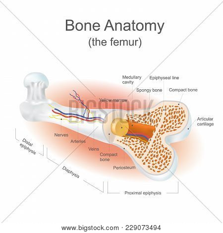The Femur Is The Strongest Bone In The Body. Info Graphic.