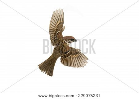 Sparrow Flies Isolated On A White Background