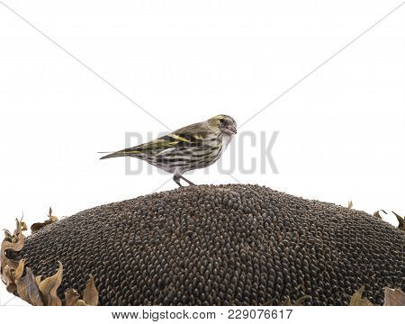 Female Siskin Sitting On A Sunflower Isolated On A White Background, Studio Shot