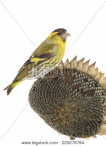 Male Siskin Sitting On A Sunflower Isolated On A White Background, Studio Shot