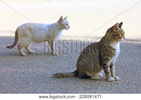 Two Purebred Cats - White And  Striped Mongrel  In The Street On The Pavement