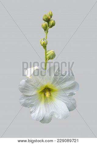 White Mallow Flower On Isolated Grey Background.