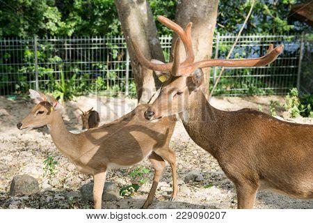 Rucervus Eldii Thamin. Burmese Brow-antlered Deer In Zoo Thailand