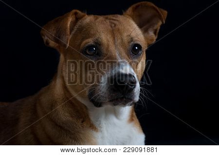 Terrier Mix Rescue Dog Head Shot With Black Background