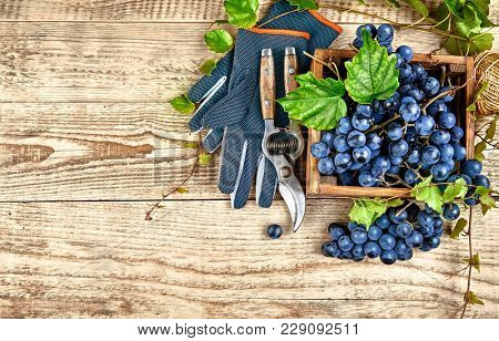 Blue grapes in box with willow green leaf and pruner on old wooden board rustic style. Top view copyspace.