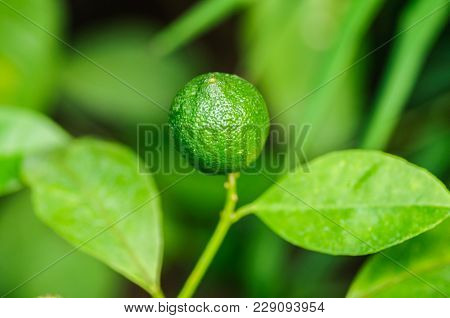 Clementine Green. Botanical Photo. Green Fruit On Green Background