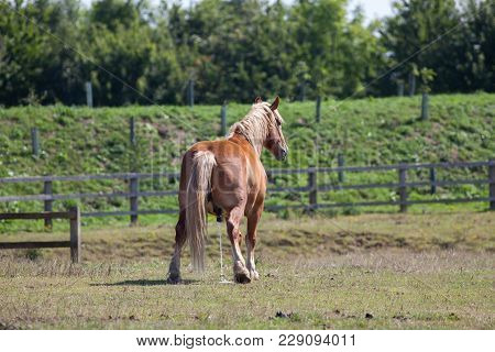 Horse Piss. Large Chestnut Horse Pissing In A Field As Nature Calls. Funny Animal Meme Image Of A Ho