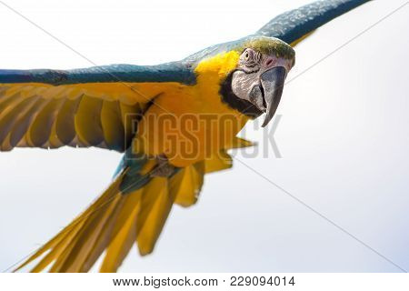 Blue And Gold Macaw Parrot (ara Ararauna) In Flight. Beautiful Close-up Of This Intelligent Tropical