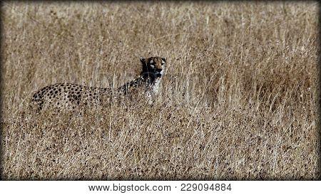 A Cheetah In The African Sabana In Tanzania