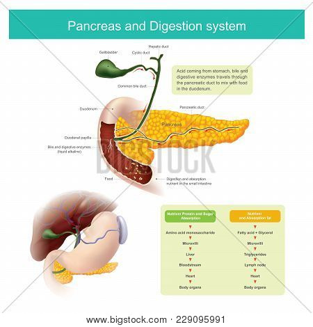 The Digestive Enzymes Travels Through The Pancreatic Duct To Mix With Food In The Duodenum. The Live