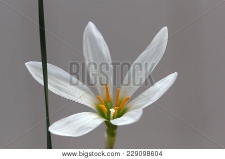 Fresh White Floret On The Gray Background Photo