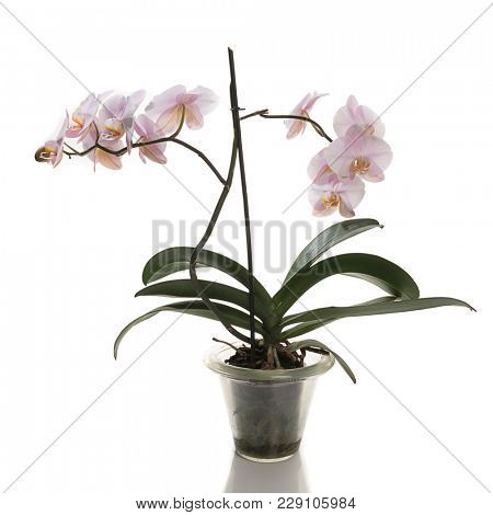 Pink orchid in flower pot isolated on white background.